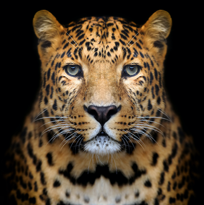 Safari-big-cats-leopard